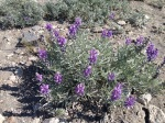 flowers in drought at 10,000 ft